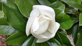 Beautiful white magnolia flower. On the tree among green leaves Stock Photo