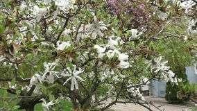Beautiful white magnolias bloom in the spring stock video footage