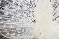 Beautiful white male peacock spreads tail feathers Stock Photo