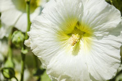 Beautiful white mallow flowers in the garden. Beautiful white flowers mallow in the garden close-up in summer Royalty Free Stock Photography