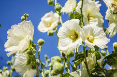 Beautiful white mallow flowers in the garden. Beautiful white flowers mallow in the garden close-up in summer Royalty Free Stock Photos