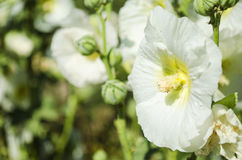 Beautiful white mallow flowers in the garden Stock Image