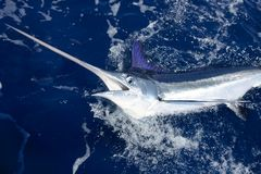 Beautiful white marlin real billfish sport fishing Stock Image