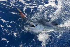 Beautiful white marlin real billfish sport fishing Royalty Free Stock Photography