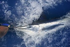 Beautiful white marlin real billfish sport fishing Stock Photography