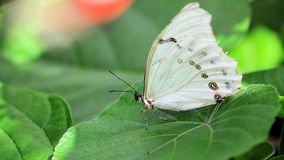 Beautiful White Morpho butterfly Stock Photography