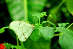Beautiful white Morpho butterfly on green leaf Royalty Free Stock Image