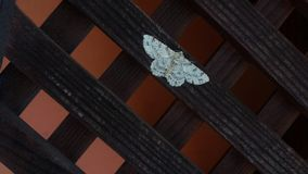 Beautiful white moth stock photography