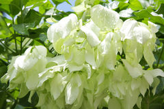 Beautiful White Mussaenda flower Stock Photography