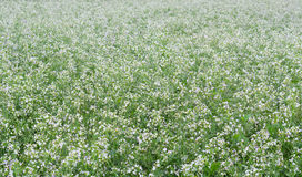 Beautiful white mustard flowers field Stock Image