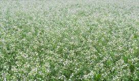 Beautiful white mustard flowers field Stock Image
