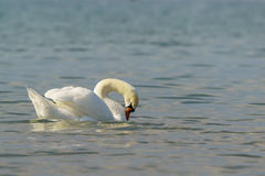 Beautiful white mute Swan lat. Cygnus olor is preening its feathers on the water Stock Photos