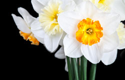 Beautiful white narcissus on black background