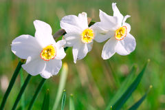 Beautiful white narcissus flower on a green spring meadow Stock Image