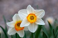 Beautiful white narcissus flower with yellow center stock image
