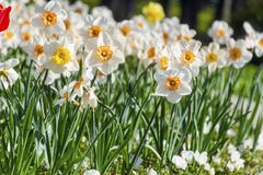 Blooming  Narcissus in a Spring Garden. Beautiful white narcissus  in a flowers field .Spring background Stock Photos