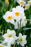 Beautiful white narcissus flowers meadow background. Beautiful white narcissus flowers meadow, selective focus. Spring nature background Stock Image