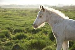 Beautiful white newborn foal Stock Image