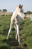 Beautiful white newborn foal Stock Photos