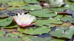 Beautiful white Nymphaea flower on surface of pond Royalty Free Stock Photos