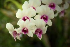 Beautiful white Ochid flowers. In the garden Stock Photos