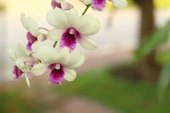 Beautiful white Ochid flowers. In the garden Royalty Free Stock Photography