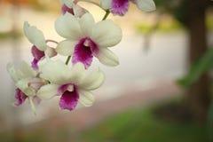 Beautiful white Ochid flowers. Beautiful white Ochid flowers in the garden Royalty Free Stock Photos