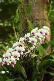 Beautiful white Ochid flowers. In the garden Stock Image