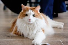 Fabulous Feline Portrait. A beautiful white and orange cat laying on the floor staring at the camera royalty free stock image