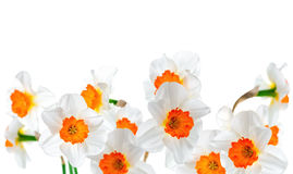 Beautiful white and orange daffodil flowers isolated on white ba Royalty Free Stock Photos