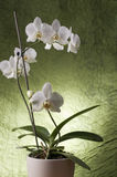 Beautiful white orchid Stock Image