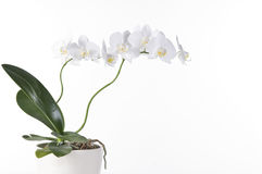 Beautiful white orchid Stock Images