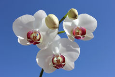 Beautiful white orchid Stock Photography