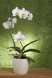 Beautiful white orchid Royalty Free Stock Photos