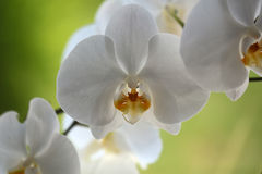 Beautiful white orchid Royalty Free Stock Photo