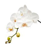 Beautiful white orchid blooming. Stock Image