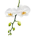 Beautiful white orchid blooming. Royalty Free Stock Photos