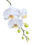 Beautiful white orchid blooming. Royalty Free Stock Images