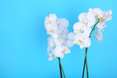 Beautiful white orchid on a blue background stock image