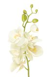 Beautiful white orchid flower isolated on white Royalty Free Stock Photo
