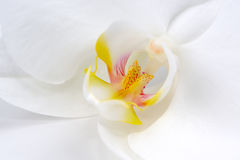 Beautiful White Orchid Flower Macro Stock Images