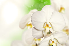 Beautiful white Orchid. Flower orchids on white-green background Royalty Free Stock Photos