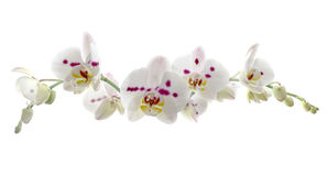 Beautiful White Orchid Flower over White Background Stock Photos