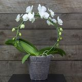 Beautiful white orchid in a flowerpot - phalaenopsis. Wooden background stock image