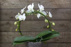 Beautiful white orchid in a flowerpot - phalaenopsis. Wooden background royalty free stock photos
