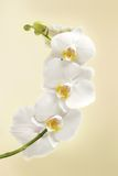 Beautiful white orchid flowers Stock Images