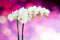 Beautiful white orchid flowers Royalty Free Stock Photography