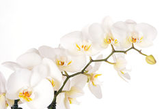 Beautiful white orchid flowers Royalty Free Stock Image