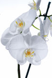 Beautiful white Orchid flowers in bloom Stock Photos