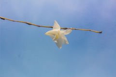 Beautiful white orchid flowers  blue sky in Phuket Thailand Royalty Free Stock Photography